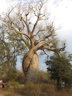 baobab-in-love