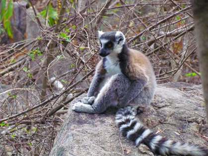 ringtailed
