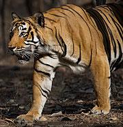 Indisk Tiger