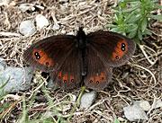 Fjärilar i Pyrenéerna.
